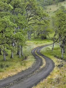 Oregon, Columbia River Gorge. Road Lined with Oak Trees by Steve Terrill