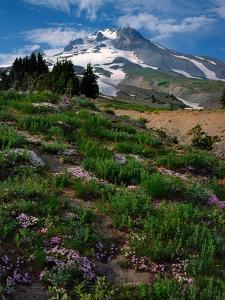 Phlox Wildflowers & Mt. Hood by Steve Terrill