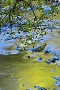 USA, Oregon. Alder Tree over South Fork Wilson River by Steve Terrill