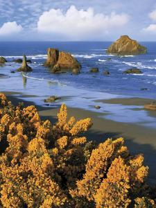 USA, Oregon, Bandon. Face Rock and Wild Gorse Plants by Steve Terrill