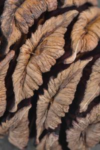 USA, Oregon. Close-up of Sequoia Cones by Steve Terrill