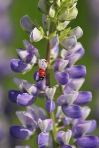 USA, Oregon. Ladybug on Lupine Flower by Steve Terrill
