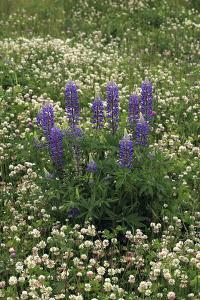 USA, Oregon. Lupine and Clover in Field by Steve Terrill