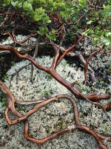 USA, Oregon, Mt. Hood NF. Manzanita Plant on Bed of Moss by Steve Terrill