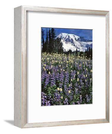 USA, Washington State, Paradise Park. Field of Lupine and Bistort