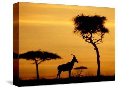 Topi at Sunrise, Kenya