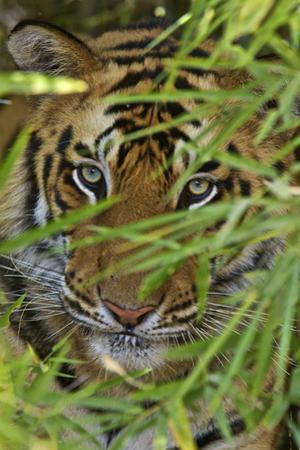 A Bengal Tiger Hidden by Bamboo Leaves by Steve Winter
