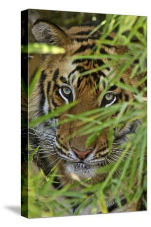 A Bengal Tiger Hidden by Bamboo Leaves