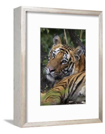 A Bengal Tiger In Bandhavgarh National Park
