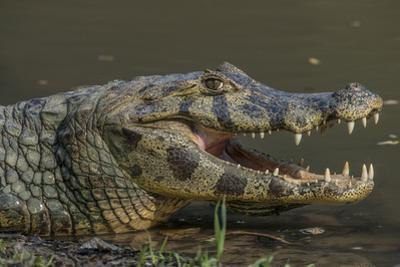 A caiman along a river in Brazil's Pantanal. by Steve Winter