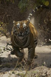 A Charging Tiger in India's Bandhavgarh National Park by Steve Winter