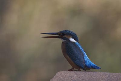 A Female Common Kingfisher Perching in Bandhavgarh National Park