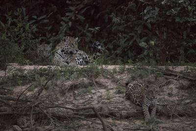 A female jaguar with cubs on a riverbank in the Pantanal of Mato Grosso Sur in Brazil. by Steve Winter