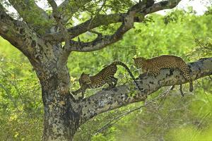 A Female Leopard and Her Cub Rest on a Tree Branch in Yala National Park by Steve Winter