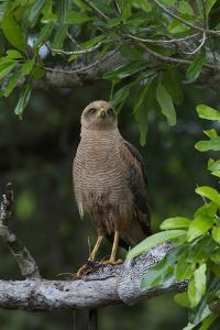 A Hawk Perched on a Tree Branch with a Snake in it's Talons by Steve Winter