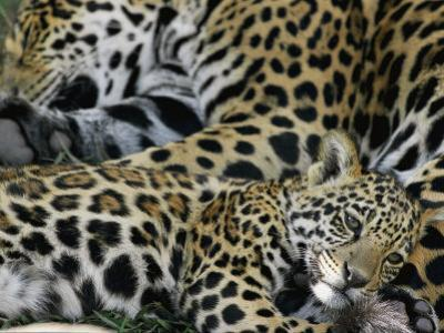 A Jaguar and Cub Relax by Steve Winter
