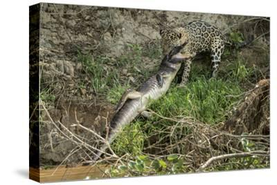 A Jaguar Carries a Caiman He Killed on the Cuiaba River into the Forest