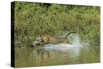 A Jaguar Chases a Caiman in the Pantanal
