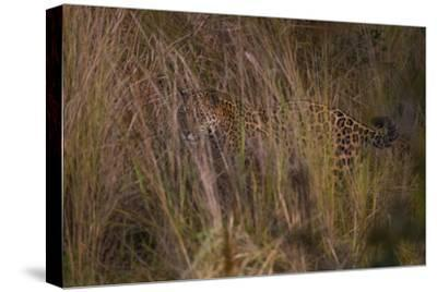 A Jaguar Scans for Prey from the Cover of Tall Grasses in the Pantanal