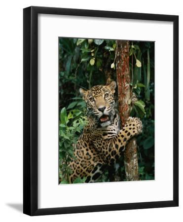A Jaguar Sharpens it Claws on a Tree Trunk
