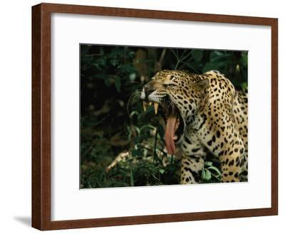 A Jaguar Yawns