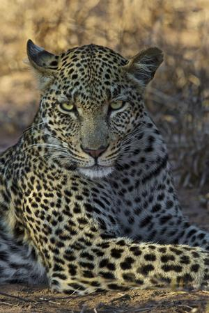 A Leopard Rests in South Africa's Timbavati Game Reserve