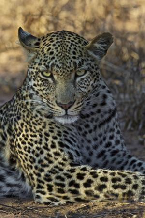 A Leopard Rests in South Africa's Timbavati Game Reserve by Steve Winter