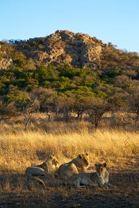 A Lioness and Her Cubs Rest in the Phinda Game Reserve by Steve Winter