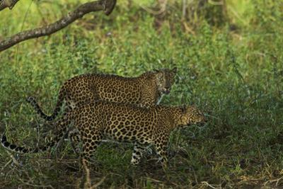 A Male and Female Leopard in Yala National Park