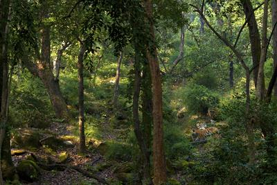 A Male Tiger Roams Through The Jungle In Bandhavgarh Tiger Reserve