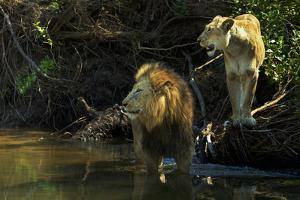 A Mating Pair of Lions at the River's Edge in South Africa's Sabi Sand Game Reserve by Steve Winter