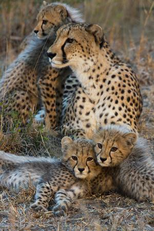 A Mother Cheetah and Her Cubs Rest Together in the Phinda Game Reserve