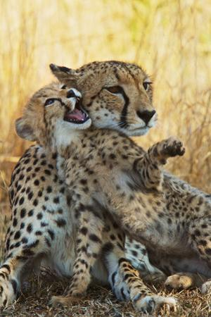 A Mother Cheetah Sits with Her Playful Cub by Steve Winter