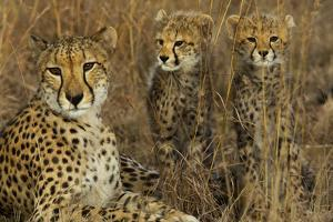 A Mother Cheetah Sits with Her Two Cubs in Tall Grass by Steve Winter