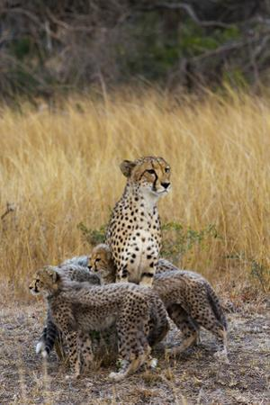 A Mother Cheetah Stands Surrounded by Her Cubs in the Phinda Game Reserve by Steve Winter