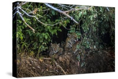A Mother Grooms Her Cubs on the Banks of the Tres Irmaos River in the Pantanal