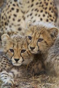 A Pair of Cheetah Cubs, Acinonyx Jubatus, in Phinda Game Reserve, South Africa by Steve Winter