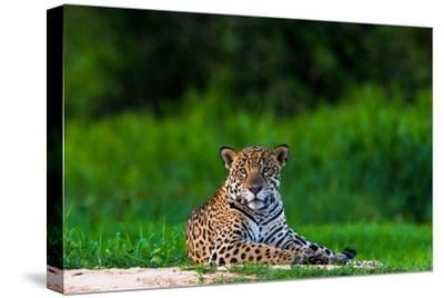A Portrait of a Wild Jaguar Resting on the Banks of the Cuiaba River, in the Pantanal