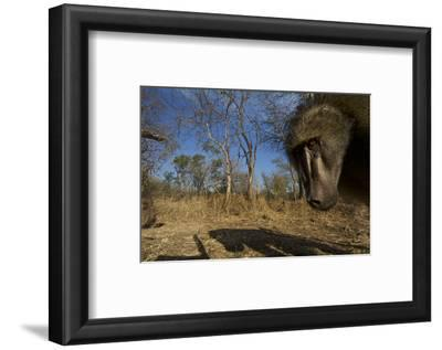 A Remote Camera Captures a Baboon in South Africa's Timbavati Game Reserve