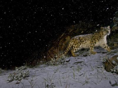 A remote camera captures a snow leopard in the falling snow. by Steve Winter