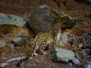 A remote camera captures an endangered snow leopard by Steve Winter