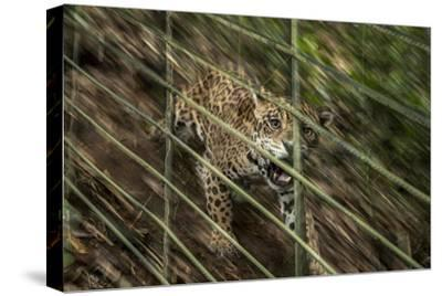A Rescued Young Jaguar Lives in a Nature Reserve in Sabana De Torres, Colombia