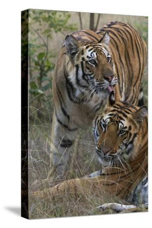 A Tiger Cub Grooms A Sibling In Bandhavgarh Tiger Reserve