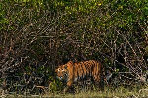 A Tiger Walks Among the Mangroves in India's Sundarbans Region by Steve Winter