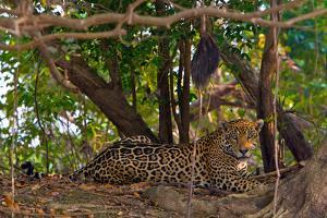 A Wild Jaguar Resting on a Bank of the Cuiaba River by Steve Winter