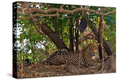 A Wild Jaguar Rests Along the Banks of the Cuiaba River