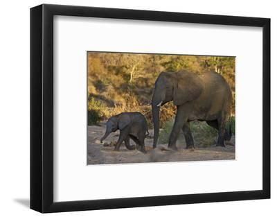 An African Elephant and Calf in South Africa's Timbavati Game Reserve