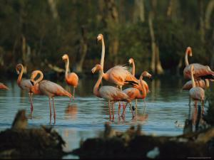 Caribbean Flamingos Stand in the Water at a Rookery by Steve Winter