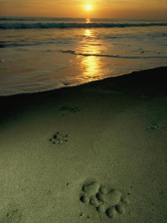 Jaguar Paw Prints in the Sand by Steve Winter