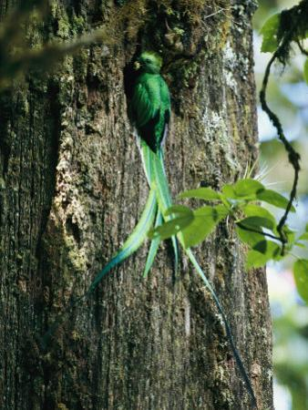 Male Resplendent Quetzal Bearing Food for its Nestlings by Steve Winter